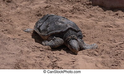 Green Sea Turtle In Green sea turtle in Eilat Israel