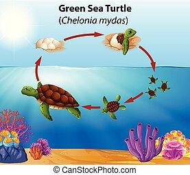 Green sea turtle life cycle