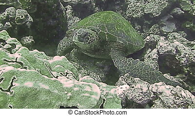 Green Sea Turtle on a coral reef