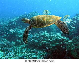 Green sea turtle on reef