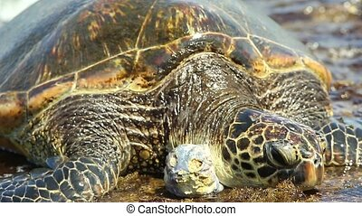 Green Sea Turtle or Hawaiian Sea Turtle on the water near the shore in Laniakea Beach or Turtle Beach on Oahu island, Hawaii, United States.