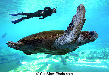 Green sea turtle Queensland Australia - Man snorkeling dive...