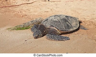 Detail of a Green Sea Turtle or Hawaiian Sea Turtle on the sand of in Laniakea Beach also known as Turtle Beach on Oahu island, Hawaii, United States. Chelonia mydas species