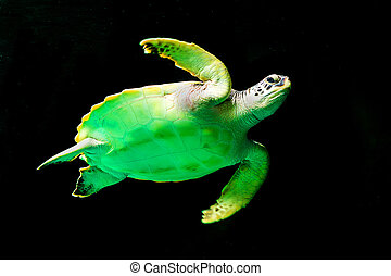 Green sea turtle swimming in a museum aquarium.