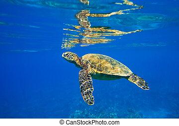 green sea turtle swimming in ocean