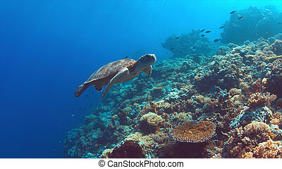 Green Sea turtle swims on a  Coral reef
