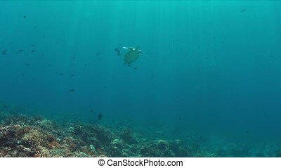 Green Sea turtle swims to the surface 4K