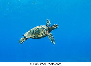 Sea Turtle - Green Sea Turtle Under Water in Hawaii