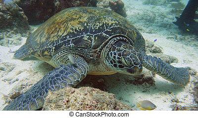 Green Sea turtle under water in Philippines.