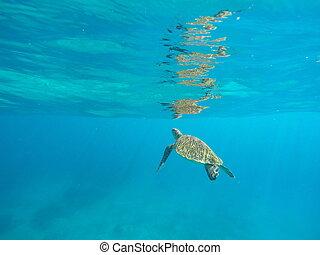 Green sea turtle underwater in deep blue ocean