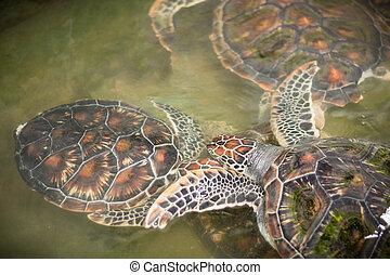 green sea turtles swimming in farm