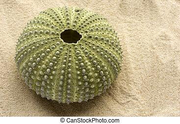 Green Sea Urchin - Green sea urchin sitting on light golden...