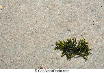 Green seaweed on the beach - A piece of green seaweed that...