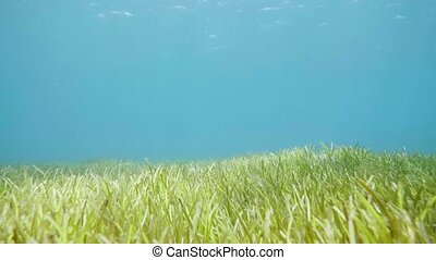 Green seaweed, water plants and blue water on sea bottom...