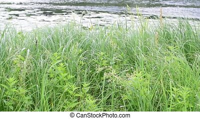 Green sedges, reeds and grass swaying in the wind on the lake with a blurred background