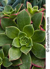 Green sedum plant in the garden