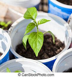 seedling of bell pepper plant in plastic tube