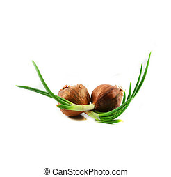 Green seedling spring onion or bud of shallot growing for planting isolated on white background