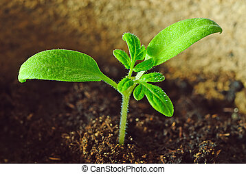 green seedling growing out of the soil