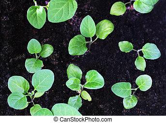 Green seedlings of eggplant.