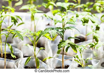 green seedlings of tomato plant in plastic tubes