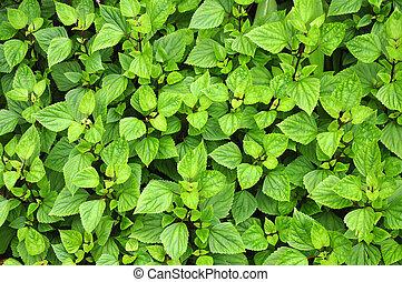 Green serrated leaves
