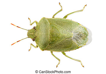 Green shield bug species Palomena prasina in high definition...