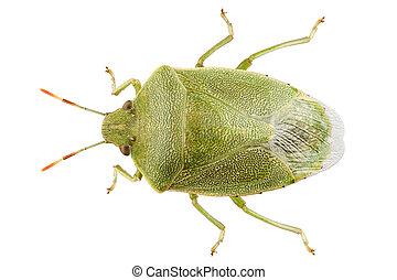 Green shield bug species Palomena prasina in high definition...