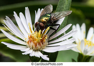 Green Shiny Fly on White Aster