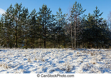 green small pine forest and grass covered with snow in the end of November