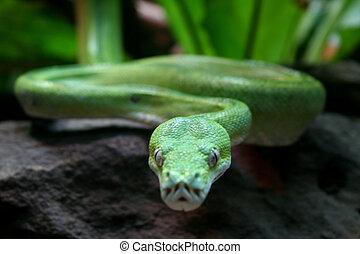 A green snake moving towards the camera