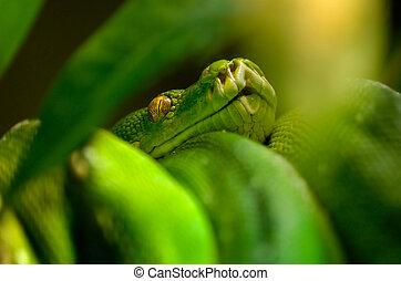 Green snake - morelia (chondropython) viridis