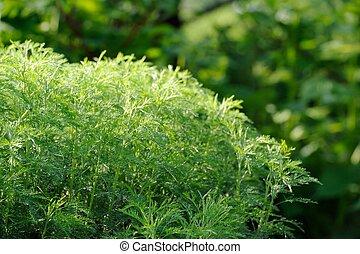 Green Southernwood (Artemisia Abrotanum) Shrub - A green...