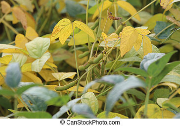 soy beans grown in the field