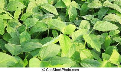 green soya bean plants in growth at field