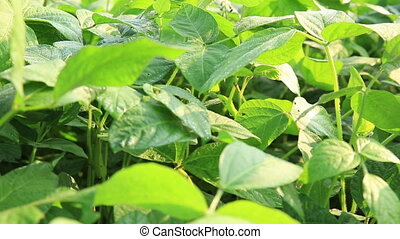 green soya bean plants in growth at field