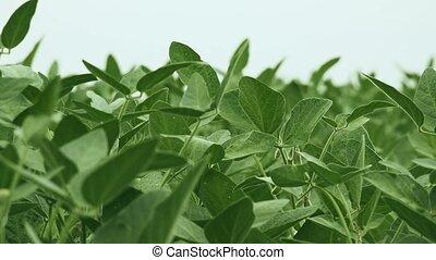 Green soybean crops in field