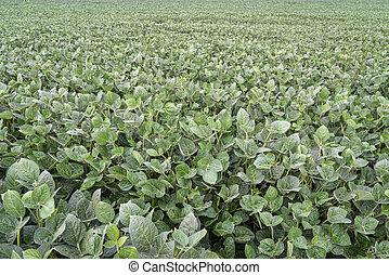 green soybean field in Nebraska