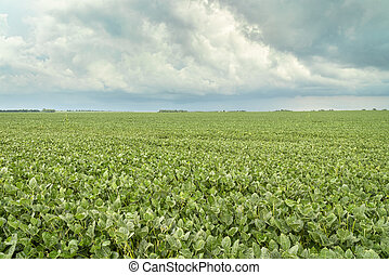 green soybean field in Nebraska