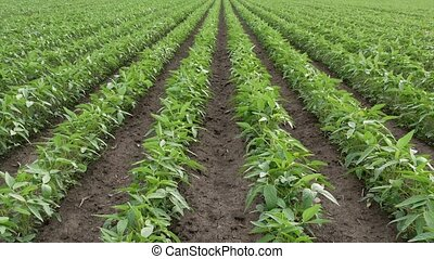 green soybean field, zoom in video - Agriculture, green...