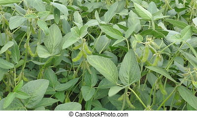 Green soybean plant in field - Closeup of green soy bean...