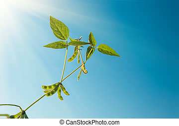 Green soybeans against blue sky background closeup - Green...