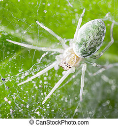 Nigma walckenaeri; a green cribellate spider up to five millimetres long, the largest of the family Dictynidae