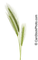 Green spikelets isolated on a white background