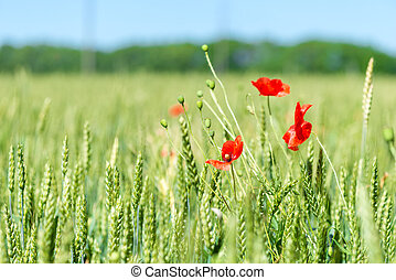 green spikes in a field and beautiful red poppy flowers close up
