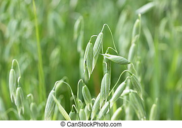 Green spikes of oats on the field