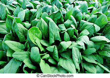 green spinach in growth at vegetable garden
