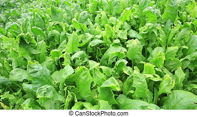 green spinach in growth