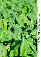 green spinach in growth - green spinach in growth at...