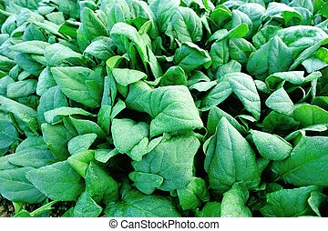 green spinach in growth - fresh spinach in growth at...